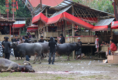 TANA TORAJA, INDONESIA - JULY 3 2012: Torajan People at a funeral ceremony in Indonesia, walking around the sacrificed buffalo wioth other animals