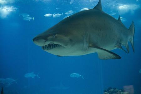 acquarium: Big shark swimming underwater in Lisbon Acquarium