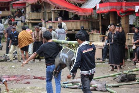 sacrificio: Tana Toraja, Indonesia - 03 de julio 2012: pueblo indonesio que transportan cerdos atados para el sacrificio durante una ceremonia fúnebre Editorial