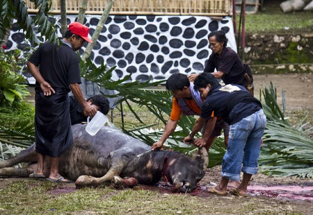 sacrificed: TANA TORAJA, INDONESIA - JULY 3 2012: Torajan men cleaning a buffalo after its sacrifice