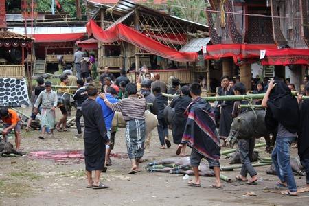 sacrificio: Tana Toraja, Indonesia - 03 de julio 2012: pueblo indonesio que transportan cerdos atados para el sacrificio durante una ceremonia f�nebre Editorial