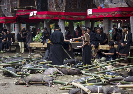 TANA TORAJA, INDONESIA - JULY 3 2012: People around pork to be sacrificed during a funeral ceremony in Indonesia Editorial