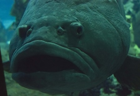 napoleon fish: Close up of a Napoleon fish swimming in Lisbon Aquarium, face