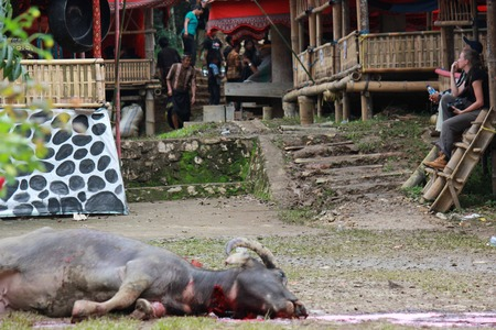 sacrificed: TANA TORAJA, INDONESIA - JULY 3 2012: Dead Buffalo lay on the floor, after its sacrifice during a funeral ceremony in Indonesia Editorial