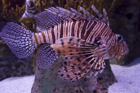 oceanario: Scorpion Fish in Lisbon Aquarium