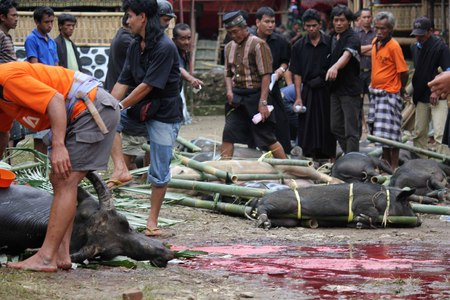 sacrificed: TANA TORAJA, INDONESIA - JULY 3 2012: Torajan People at a funeral ceremony in Indonesia, walking around the sacrificed buffalo and pigs on the square