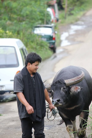 sulawesi: TANA TORAJA, INDONESIA - JULY 3 2012: Indonesian man carrying a buffalo in the street in the South Sulawesi