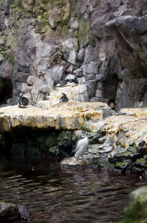 oceanario: LISBON, PORTUGAL - OCTOBER 24 2014: The outdoor habitat of Magellanic penguins in Lisbon Aquarium, Portugal