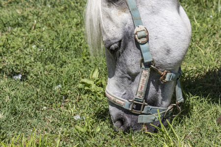 LASTRA A SIGNA, ITALY - AUGUST 30 2015: Muzzle close up o a horse grazing the grass