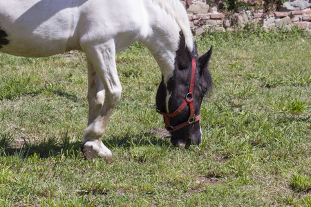 LASTRA A SIGNA, ITALY - AUGUST 30 2015: black and white horse grazing outdoors in Tuscany;