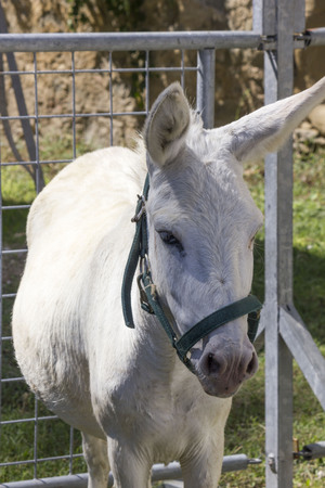 LASTRA A SIGNA, ITALY - AUGUST 30 2015: White donkey in a fence