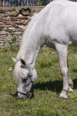 LASTRA A SIGNA, ITALY - AUGUST 30 2015: Horse grazing outdoors in Tuscany
