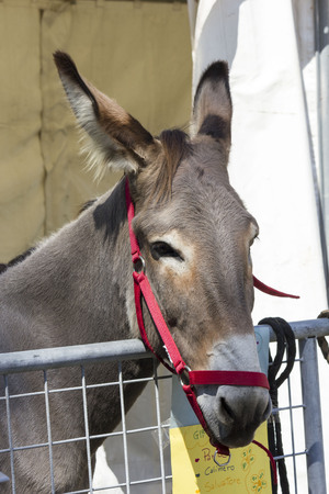 LASTRA A SIGNA, ITALY - AUGUST 30 2015: Muzzle close-up of a brown donkey with red head collar Editorial
