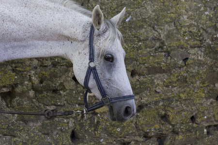 LASTRA A SIGNA, ITALY - AUGUST 30 2015: Muzzleclose-up of a white spotted horse
