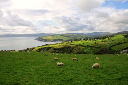 緑の野原と北アイルランドでアントリム海岸沿い羊と丘