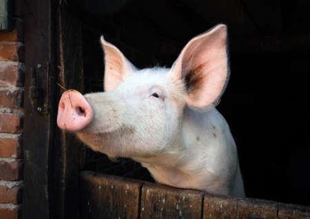 little pigs portrait in a farmhouse in Alsatian country, France