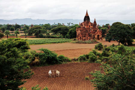 Bagan landscape with holy ancient temples and cultivated field with ox cart Stock Photo - 18930719
