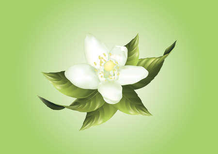 corolla: white lemon flower and leaves vector illustration Illustration