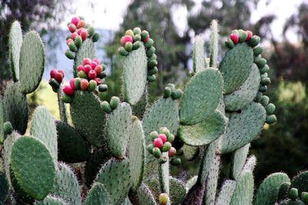mesoamerica: mexican cactus