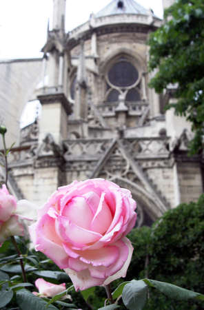 a rose in Notre-Dame cathedral courtyard photo