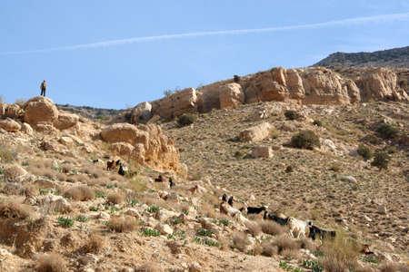goats eating shrubs in Dana reserve, Jordan Imagens - 131786631