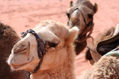 portrait of funny dromedaries in Wadi Rum desert, Jordan, Middle East Imagens - 132858873