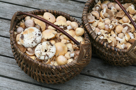 torminosus: Two wicker baskets full of wild mushrooms