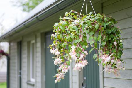 Light pink bleeding heart blossoms hanging from a flower pot