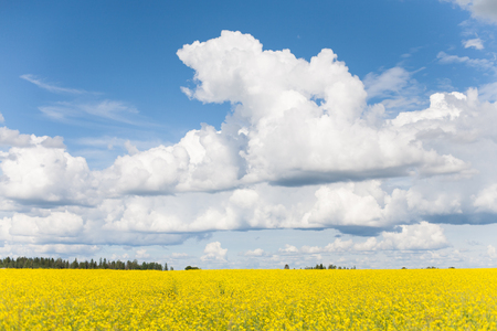 Bright yellow rape blossom (Brassica napus) field with blue skies and white clouds