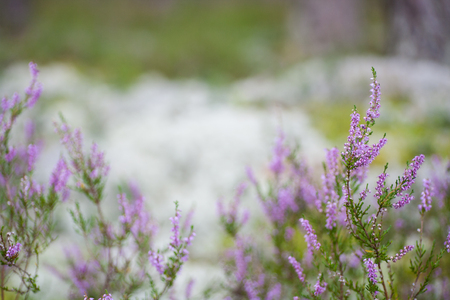 ericaceae: Amazing blossoming purple scotch heather (Calluna vulgaris) background with a shallow depth of field and empty space