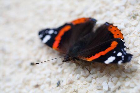 Closeup of a Red Admiral butterfly (Vanessa atalanta) Stock Photo