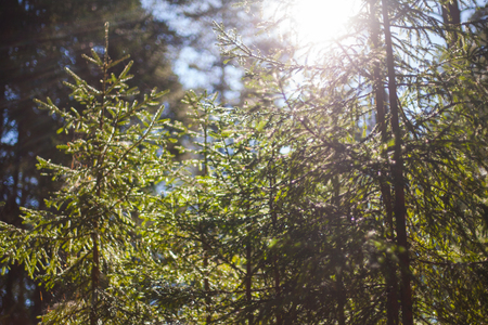 Sun rays coming through the spruce tree branches in a pristine forest