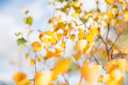 Yellow autumnal birch tree leaves closeup with a blurry background Banco de Imagens