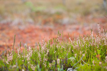 Blossomed soft pink scotch heather (Calluna vulgaris) bush with a shallow depth of field and a colorful fall peatland in the background