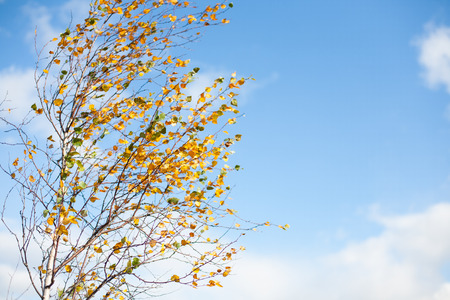 Birch tree branches and yellow leaves on a sunny, windy fall day