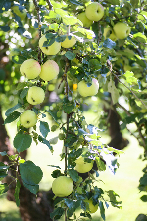 Fresh green apples hanging on a branch