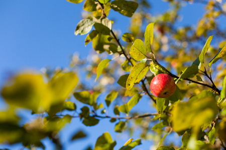 Bright red apple hanging from a tree on a sunny autumn day