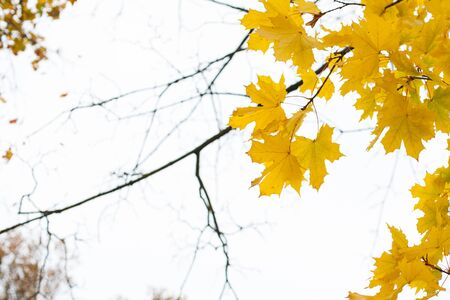 Beautiful yellow autumnal maple tree leaves on branches with a blurry white background
