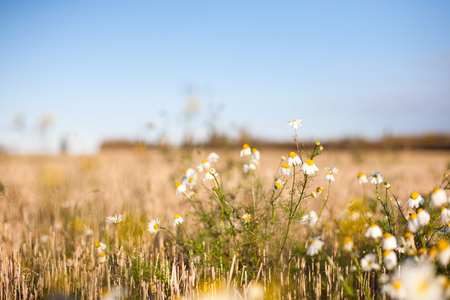 Daisy flowers on a crop field in autumn at sunrise Banco de Imagens