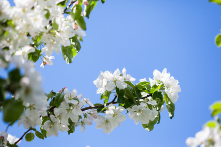 Clear blue skies, sunshine and white apple tree blossoms