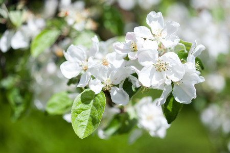 Apple tree blooming on a sunny spring day