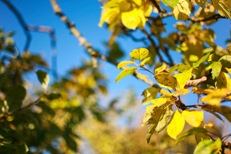Autumnal bright yellow apple tree leaves and clear, blue skies Banco de Imagens