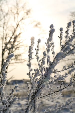 Plants covered in snow and frost on a cold winters evening with a sunset halo background