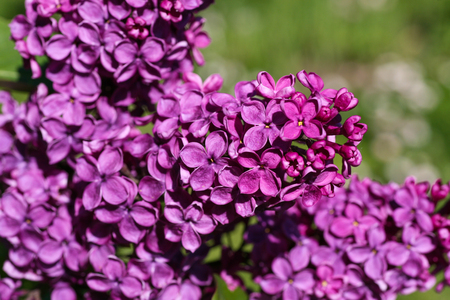 Closeup of dark purple lilac blossoms on a sunny day