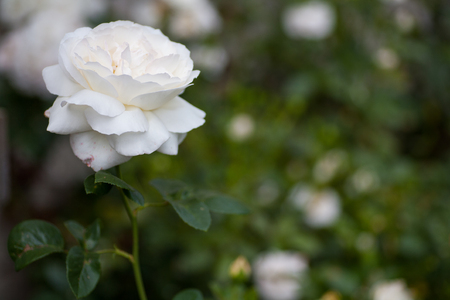 Beautiful white rose on a dark green background