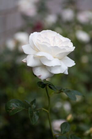 Amazing lonely white rose with a blurry green background