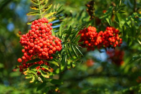 Mountain ash (Sorbus) tree with ripe rowan berries Stock Photo