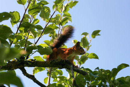Squirrel sitting on a leafy branch with a blue sky background Banco de Imagens