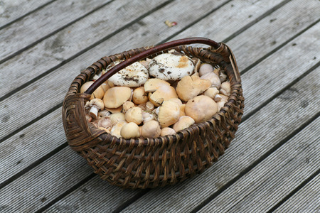 torminosus: Wicker basket full of freshly picked wild mushrooms