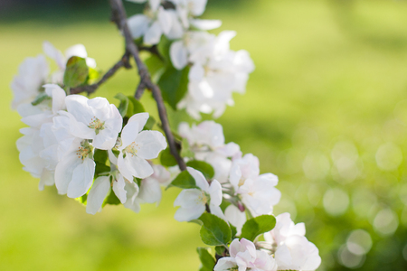 White apple tree blossoms on a green grass backdrop